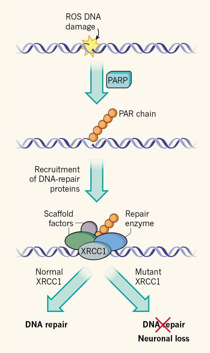 how to stop dna damage