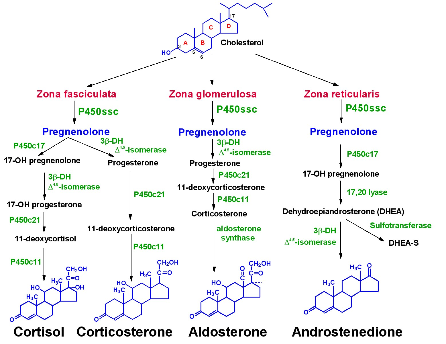 vitamin d hormone steroid