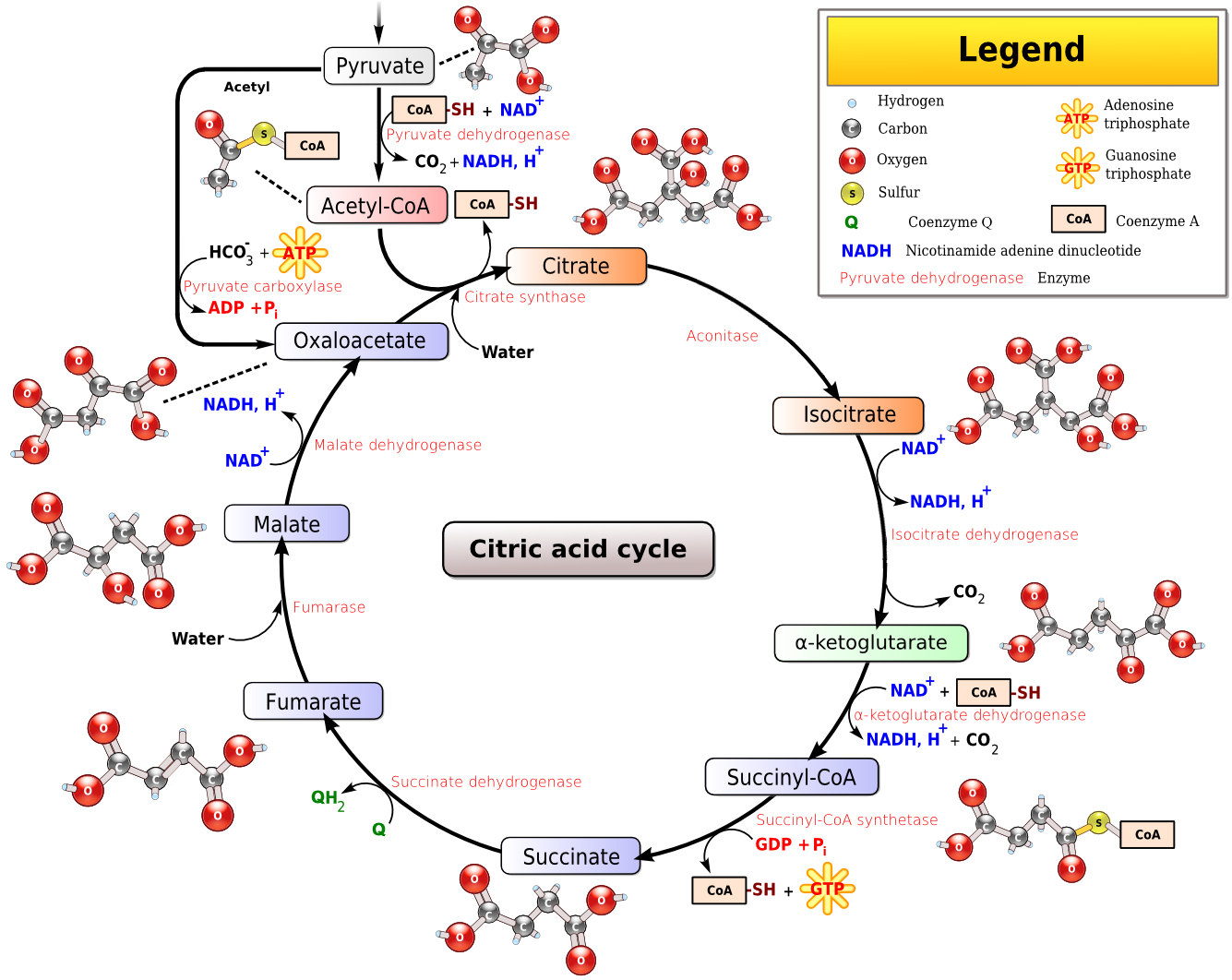 oxaloacetate - Humpath.com - Human pathology  oxaloacetate - ...