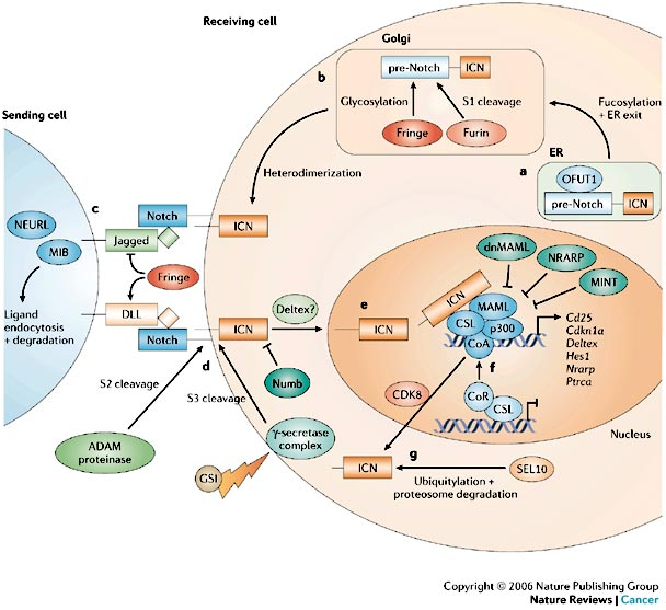 cancer signaling pathways. Notch signaling pathway