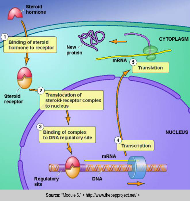 corticosteroid hormones in the body