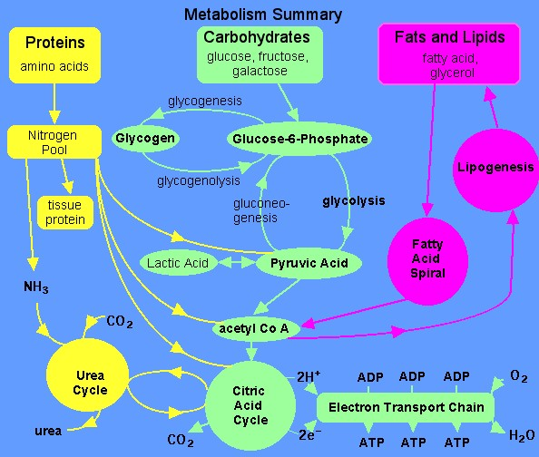 Urea Cycle - Humpath Com