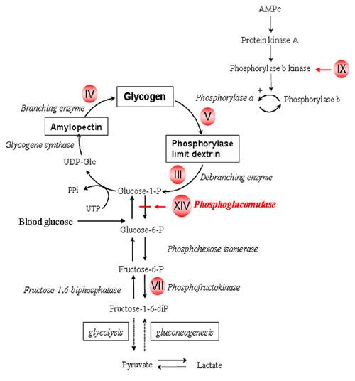 Glycogen Storage Disease Type 5 Humpath Com Human