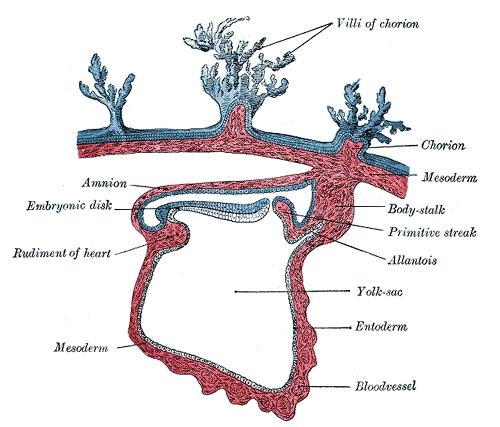 allantois  Humpath     Human    pathology