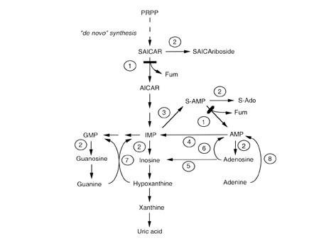 Purine Metabolism Humpath Com Human Pathology